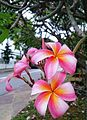 Frangipani by the road.jpg