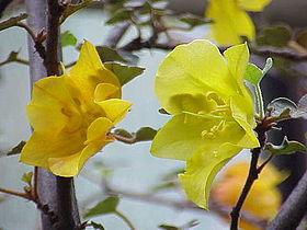 Fremontodendron californicum0.jpg