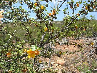 Fremontodendron mexicanum - Image: Fremontodendron mexicanum (8713879683)