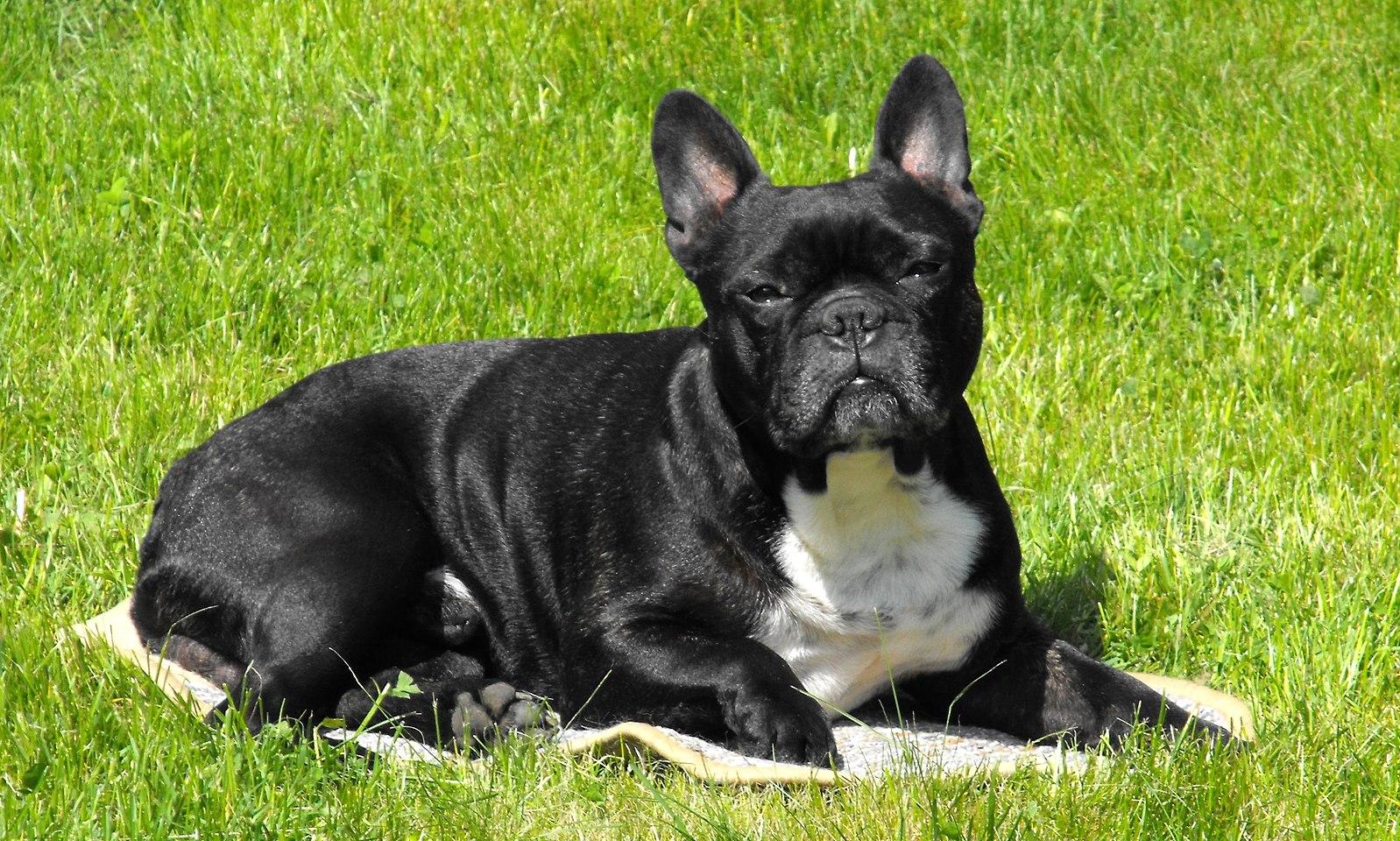 барсук французская собака фото как отличить