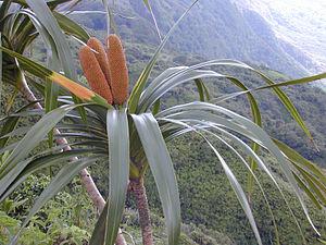 Freycinetia arborea - Image: Freycinetia Arborea