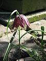 Fritillaria meleagris002.jpg