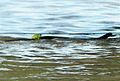 Frog on snakes back qld floods.jpg