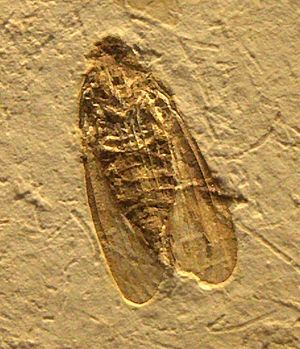 Hemiptera - Fossil planthopper (Fulgoromorpha) from the Early Cretaceous Crato Formation of Brazil, c. 116 mya