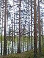 Funny looking tree at Leivonmäki national park - panoramio.jpg