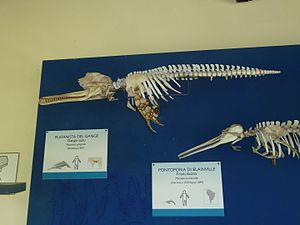 South Asian river dolphin - Ganges river dolphin skeleton specimen exhibited in Museo di storia naturale e del territorio dell'Università di Pisa
