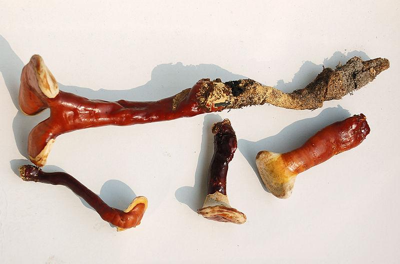File:Ganoderma-lucidum-(Fastiv)-0.jpg