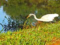 Garça pescando no lago do pq ecológico pela manhã 3 - panoramio.jpg