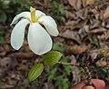 Gardenia gummifera 18.JPG