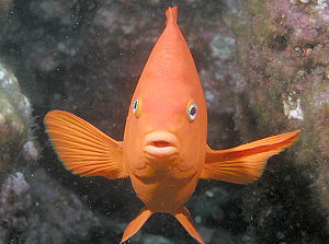 Garibaldi (fish) - Image: Garibaldi, Catalina Island, Channel Islands, California