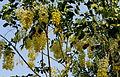 Garmalo or Cassia fistula.JPG