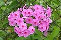 Gartenblumen in Sanok.JPG