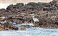 Garza azulada (Ardea herodias), Las Bachas, isla Santa Cruz, islas Galápagos, Ecuador, 2015-07-23, DD 08.jpg