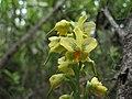 Gavilea odoratissima Poepp. (pabloendemico).jpg