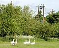 Geese at Broadwell House Farm - geograph.org.uk - 1316683.jpg