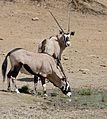 Gemsboks (Oryx gazella) at waterhole ... (32618805795).jpg