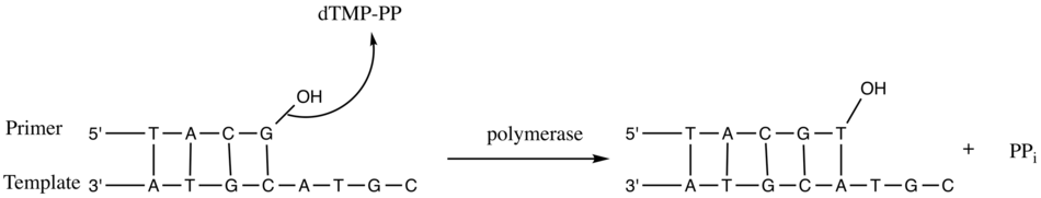 Nucleotidyl transfer by DNA polymerase.