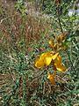 Genista berberidea.JPG