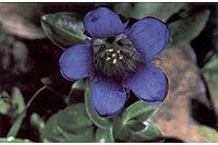 Gentiana-calycosa1web