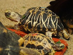 Burmese star tortoise - At Sunshine International Aquarium, Japan