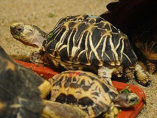 Burmese star tortoise species of reptile