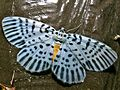 Geometrid Moth (Bracca subfumosa) (6726630707).jpg