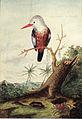 Georg Forster - Halcyon leucocephala acteon.jpeg