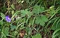 Geranium platypetalum 3.jpg