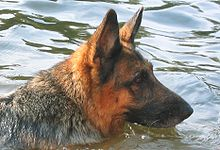 GermanShepherdDog swimming.jpg