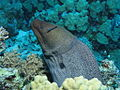 Giant Moray,Gymnothorax javanicus at Gota Kebir, St John's reefs, Red Sea, Egypt -SCUBA (6325526915).jpg