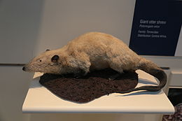 Giant otter shrew (Potamogale velox), Natural History Museum, London, Mammals Gallery.JPG
