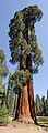 Giant sequoia in Sequoia National Park 2013.jpg