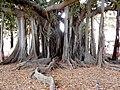 Giardino Garibaldi tronco di ficus.jpg