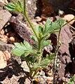Gilia scopulorum 5.jpg