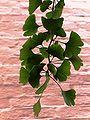 Ginkgo biloba - Leaves.JPG