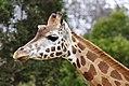 Giraffe08 - melbourne zoo.jpg