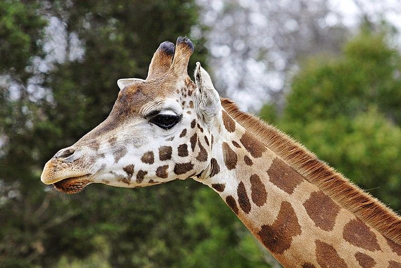 La jirafa de África occidental es considerada en peligro de extinción.
