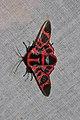 Glanycus coendersi (Thyrididae- Thyridinae) (5713870907).jpg
