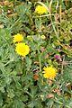 Glebionis segetum - (Chrysanthemum segetum) – Corn Marigold w Madeira (32476419374).jpg