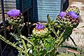 Globe artichoke Cynara cardunculus at Riverside Moorings, Shoreham, West Sussex, England.jpg