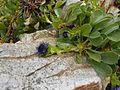 Globularia trichosantha 2017-04-17 7560.jpg