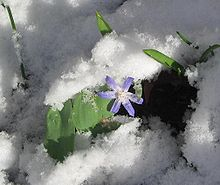 Glory of the Snow in the snow.JPG