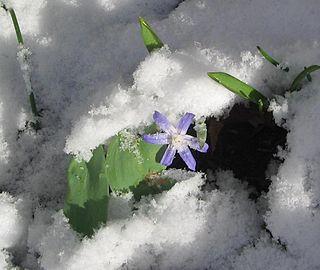 <i>Scilla</i> sect. <i>Chionodoxa</i> Section of plants in the genus Scilla