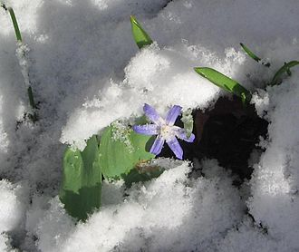 Chionodoxa - Glory-of-the-snow in the snow