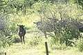 Gnou bleu - Connochaetes taurinus dans la réserve Okonjima 01.jpg