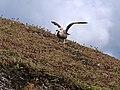 Goéland juvénile - panoramio.jpg