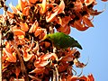 Gold-fronted Leafbird Chloropsis aurifrons by Dr. Raju Kasambe DSCN4900 (3).jpg