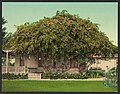 Gold of Ophir roses, Pasadena-LCCN2008679608.jpg
