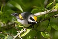 Golden-winged Warbler (male) Sabine Woods TX 2018-04-26 08-11-40 (41190419195).jpg
