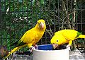 Golden Conure (Guaruba guarouba) -2 eating from bowl.jpg